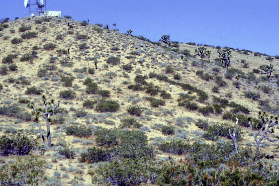 Large creosote clone in Kramer Hills taken in 1982.