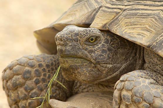 Adult desert tortoise. Photo courtesy David Lamfrom.
