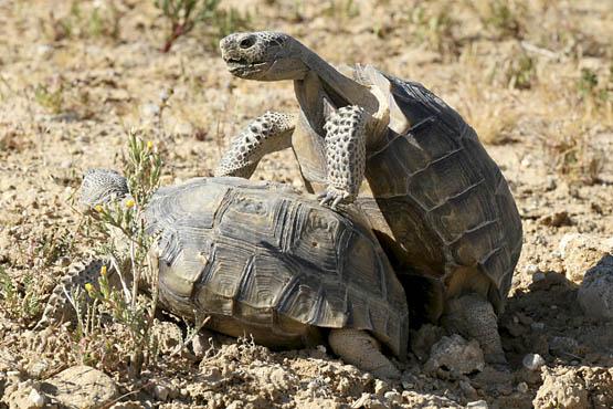 Mature desert tortoises mating. Photo courtesy David Lamfrom.